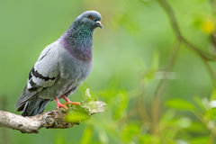 Feral Pigeon. Perched on the branch in the park Stock Photo