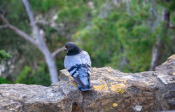 Feral pigeon perching on antique wall. Royalty Free Stock Photography