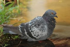 A feral pigeon. A photo taken on a feral pigeon by the water Royalty Free Stock Photography
