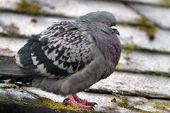 Feral pigeon. Royalty Free Stock Photos