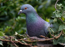 Feral Pigeon. Stock Image