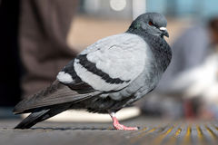 Feral Pigeon Royalty Free Stock Photography
