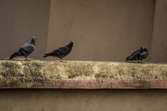 Feral pigeon on roof of building. stock image