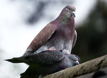 Feral Pigeon s mating on house roof. Stock Photo