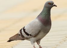 Feral pigeon on urban street Stock Photo