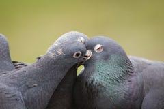 Feral Pigeons Fotografie Stock Libere da Diritti