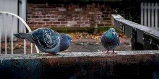 Feral Pigeons, colomba livia che realizza un rituale accoppiamento in un ambiente urbano fotografie stock libere da diritti