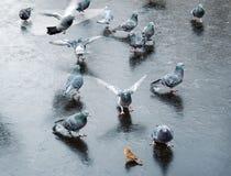 Feral Pigeons Columba Livia Domestica royalty-vrije stock foto's
