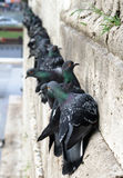 Feral pigeons Columba livia domestica on the wall Stock Images