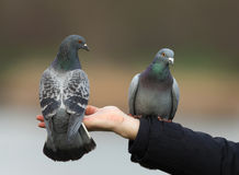 Feral pigeons (Columba livia) Royalty Free Stock Photo
