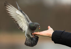 Feral pigeons (Columba livia) Stock Images