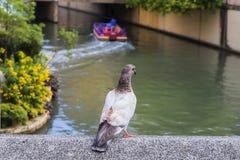 Feral Pigeons In een Park Stock Afbeelding