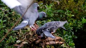 Feral pigeons feeding in urban house garden. Feral pigeons feeding in urban house garden in snowy winter conditions stock footage
