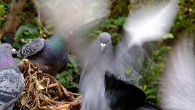 Feral pigeons feeding in urban house garden. Feral pigeons feeding in urban house garden in snowy winter conditions stock video