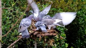 Feral pigeons feeding in urban house garden. Feral pigeons feeding in urban house garden in snowy winter conditions stock video footage