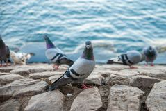 Feral pigeons near the sea Stock Photography