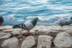 Feral pigeons near the sea Royalty Free Stock Image
