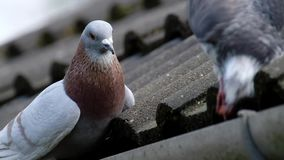 Feral pigeons on roof feeding. Feral pigeons on roof feeding in urban house garden stock footage