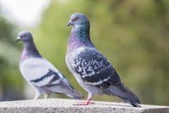 Feral Pigeons In um parque Fotografia de Stock
