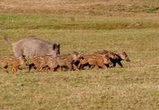 Feral pigs Royalty Free Stock Photo
