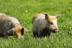 Feral pigs grazing on green lawn Royalty Free Stock Photos