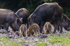 Feral pigs, sow and piglets rooting. For food stock images