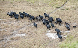 Feral pigs. Wild feral pigs near the gulf of carpentaria North Queensland stock images