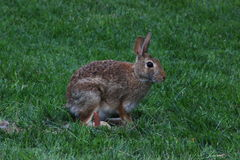 Feral Rabbit Photo stock
