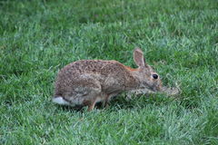 Feral Rabbit. On a piece of grass Stock Photo