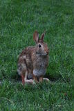 Feral Rabbit. On a piece of grass Royalty Free Stock Photography