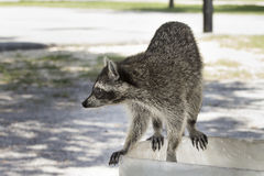 Feral Raccoon. Raccoon I shot in Florida midday that walked up just few feet from me at a park Royalty Free Stock Image