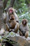 Feral Rhesus Monkeys Living in het Nationale Park China van Zhangjiajie Stock Foto