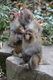 Feral Rhesus Monkeys Living in het Nationale Park China van Zhangjiajie Royalty-vrije Stock Foto