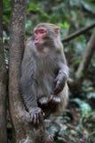 Feral Rhesus Monkeys Living i den Zhangjiajie nationalparken Kina Arkivfoton