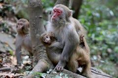 Feral Rhesus Monkeys Living in Nationalpark China Zhangjiajie Stockbild