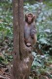Feral Rhesus Monkeys Living in Nationalpark China Zhangjiajie Stockfotos