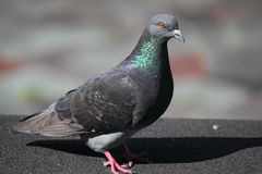 Feral Rock Dove (Pigeon) Royalty Free Stock Photo