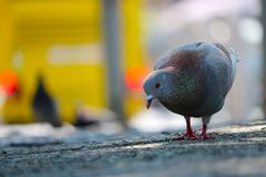 Feral rock pigeon foraging on the pavement in front of a blurry yellow bus with red taillights in berlin. Feral rock pigeon columba livia domestica foraging on stock images