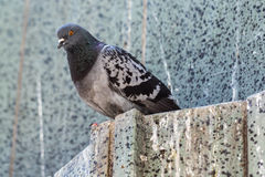 Feral Rock Pigeon Royalty Free Stock Images