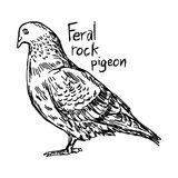 Feral rock pigeon - vector illustration sketch hand drawn. Feral rock pigeon - vector illustration sketch hand drawn with black lines, isolated on white Royalty Free Stock Image