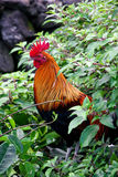 Feral rooster Stock Images