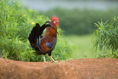 Feral Rooster Royalty Free Stock Images