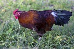 Feral Rooster in Bermuda Stockfotos