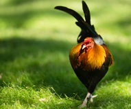 Feral Rooster Public Park Oahu Hawaii Wild Chicken Royalty Free Stock Photos