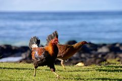 Feral Rooster u. Huhn am Strand Stockfoto
