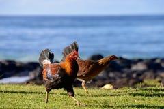 Feral Rooster y pollo en la playa Foto de archivo