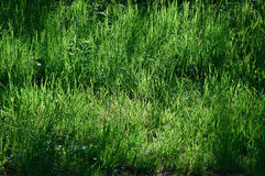 Feral spring meadow with very long blades Stock Images