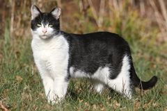 Feral or Stray Cat Royalty Free Stock Images