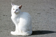Feral white cat - RAW format. Feral white cat sitting in the sun Royalty Free Stock Photography