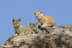 Feral wild cat kittens. At home in a hollow tree on Cooper Creek ,South Australia stock photo